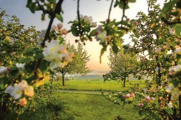 TGT_Thurgau_Bodensee,_Blick_durch_die_Apfelbluten_in_Altnau,_20x30cm,300dpi,_Nachweis_Thurgau_Bodensee