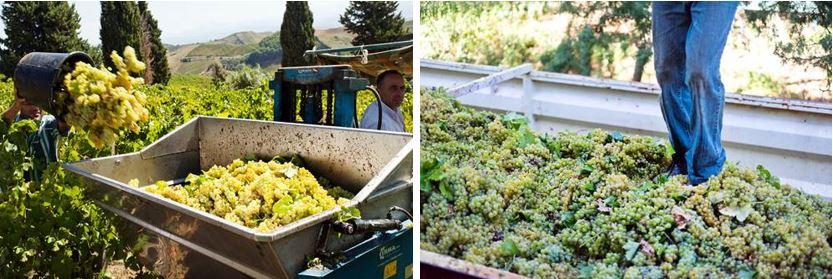 La+Vendemmia_Weinernte_Sicily+1-1