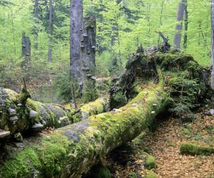 Wildnisgebiet Dürrenstein, Totholz im Urwald Rothwald, Foto: Werner Gamerith