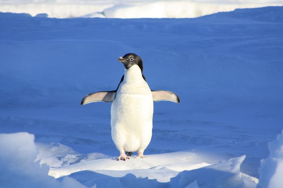 penguin-56101_960_720